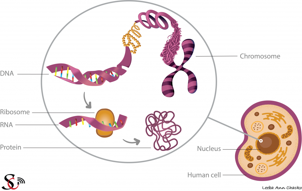 The central dogma of molecular biology: The nucleus of a cell consists of DNA which contains instructions for making proteins.